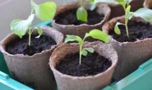 Пікіровка розсади баклажанів