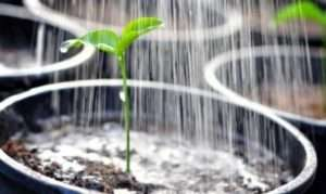Загальні правила поливу розсади болгарського перцю