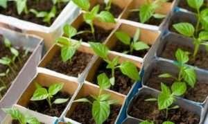 Як визначити вологість грунту і критерії якості води для вирощування перцю