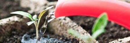 Полив розсади перцю - коли і як правильно поливати розсаду в домашніх умовах