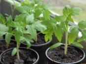 Посадка розсади помідор - коли та як садити розсаду томатів у відкритий ґрунт
