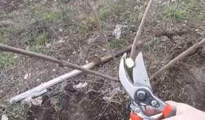 як садити черешню