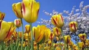 Коли і як садити тюльпани навесні
