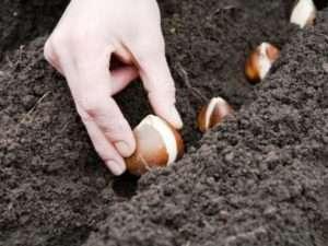 Коли і як правильно садити тюльпани навесні