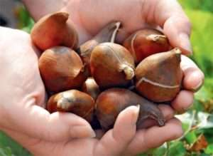 Як зберегти цибулини тюльпанів до весни
