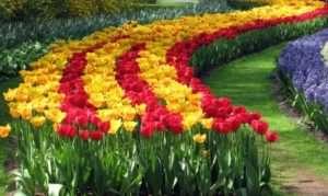 Поради садівникам щодо вирощування тюльпанів самостійно