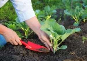 Коли садити капусту на розсаду в 2019 році