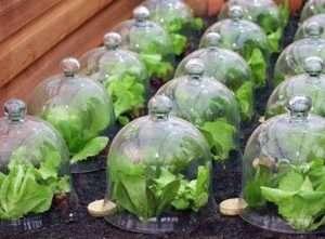 Агротехніка посадки капусти на розсаду