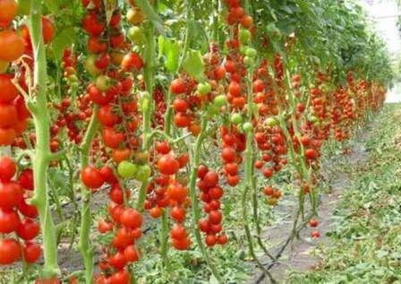 Догляд, технологія та агротехніка вирощування помідорів у відкритому грунті на городі