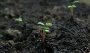 Підготовчий етап пророщування - агротехнічний комплекс