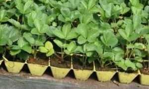 Додатковий догляд за розсадою суниці - чи потрібно рослині загартовуватися