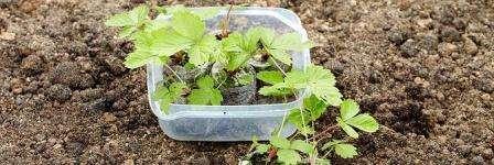 Пікіровка розсади суниці - Як пікірувати розсаду полуниці в домашніх умовах правильно