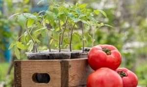 Як правильно сіяти помідори на розсаду в 2019 році