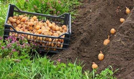 Технологія та агротехніка вирощування картоплі під соломою в мішках або бочках