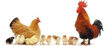Птахівництво,будівництво курятника своїми руками, догляд та вирощування курей, гусей, індиків, качок