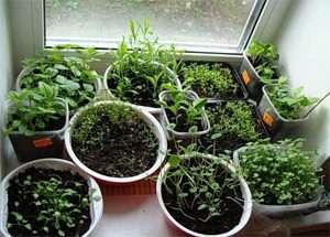 Основні труднощі і правильний підхід до вирощування розсади квітів