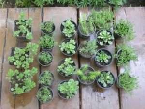 Як доглядати за розсадою квітів, щоб вона виросла здоровою