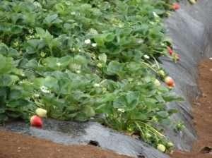 Розсада полуниці - як отримати паростки з насіння