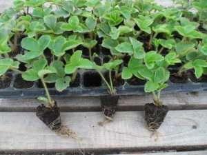 Розсада полуниці - який спосіб вирощування ягід найкращий