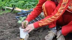 Як правильно посадити полуницю на грядці