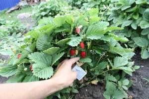 Розсада полуниці - як її виростити