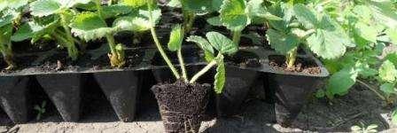 Розсада полуниці з насіння і розеток – вирощування в домашніх умовах