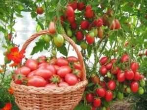 Чи варто садити томат Чіо-чіо-сан на своїй ділянці