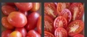 Відео: Томат Чіо-чіо-сан: особливості вирощування та догляду