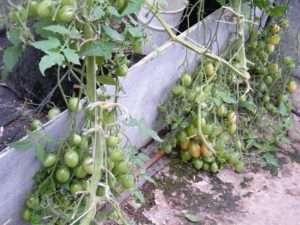 Вирощування помідорів Чіо-чіо-сан в домашніх умовах