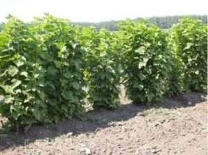 Як вирощувати смородину
