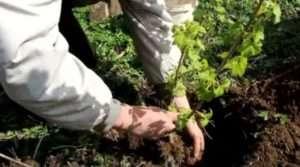 Кореневу систему смородинового куща засипають землею, злегка утрамбовувавши грунт
