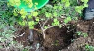 Посаджений кущ добре поливають водою