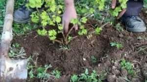 Ще трохи присипають политий кущ грунтом і формують невеликий бордюр з землі