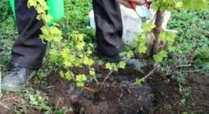 Вирощуємо смородину – посадка й догляд: обрізування і розмноження