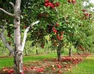 Правильний вибір місця для яблуньки