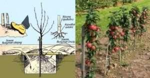 Технологія посадки яблунь навесні