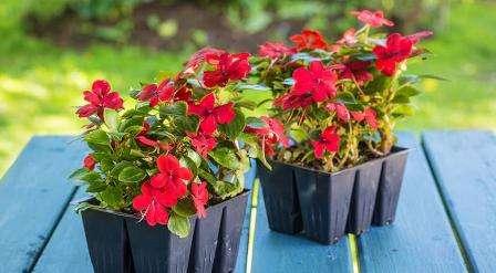 коли садити і як вирощувати розсаду. Фото квітів